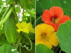 A növénytársítások nagy előnye, hogy az egyik növény bizonyos jó tulajdonságai nagyban elősegítik a másik egészséges növekedését, zavartalan fejlődését. Balcony Garden, Permaculture, Garden Projects, Landscape, Fruit, Vegetables, Flowers, Outdoor, Gardening