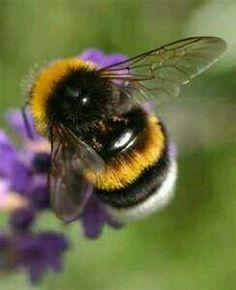 The gentle Bumblebee ♡