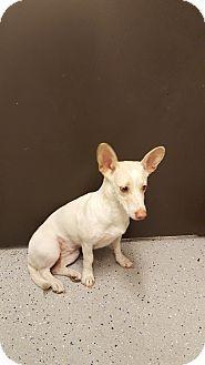 St John, IN - Dachshund/Corgi Mix. Meet Serenity(Cami), a dog for adoption. http://www.adoptapet.com/pet/15323427-st-john-indiana-dachshund-mix