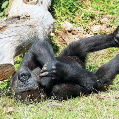 Gorilla I play me ... an adolescent gorilla ! ... 27 (c)(t) by Olao-Olavia par Okaio Créations fz 1000