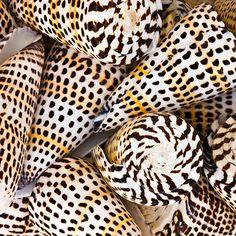 Leopard Cone / Pearl-Nautilus