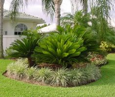 Sago palm or Cycas revoluta, it is a local plant in Japan. It is known as a king sago palm or sago palm. It is a plant in the cycad genus, and it is not palm. Sago palm is widely cultivated in the garden or narrow space and ornamental. Palm Trees Landscaping, Florida Landscaping, Florida Gardening, Tropical Landscaping, Landscaping With Rocks, Outdoor Landscaping, Front Yard Landscaping, Landscaping Ideas, Palm Garden