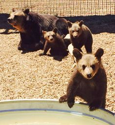 Rescued From a Strip Mall Tourist Attraction, 17 Bears Find a New Life at the Wild Animal Sanctuary Black Bear, Brown Bear, Wild Animal Sanctuary Colorado, Wild Animal Rescue, New Life, Wildlife, Strip Mall, The Incredibles, Bears