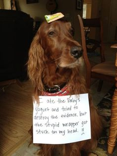 """""""I ate the babies yogurt and tried to destroy the evidence but the stupid wrapper got stuck on my head. :~) """" Dog Shaming"""