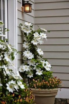 White Clematis.