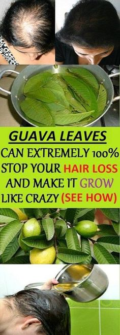 Remedies For Thicker Hair Guava Leaves Can Stop Hair Loss And Make It Grow Like Crazy! Hair Loss Cure, Stop Hair Loss, Hair Loss Remedies, Prevent Hair Loss, Guava Leaves For Hair, Guava Benefits, Health Benefits, Health Tips, Lisa