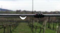 La quiete dopo la tempesta;  #goccia nel #vigneto. #valcalepio #domenicadipioggia #drop #pioggia #rain #wineyard #vines #dettaglio #detail
