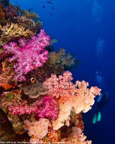 Dive Photo Fridays  The world famous Fijian soft coral near Garden Island Resort, Taveuni Island, Fiji
