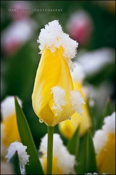 It makes me smile when the yellow tulips stubbornly push up through the snow here. :)