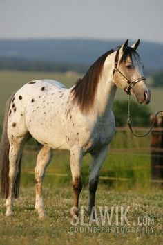 "Appaloosa horse - Google Search Ours is"" Apple Jack"""