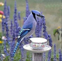 """Blue"" Jay - there is definitely lavender/periwinkle/lilac in this creature. no wonder I think they are so beautiful Pretty Birds, Love Birds, Beautiful Birds, Animals Beautiful, Cute Animals, Birds 2, Blue Jay, Jay Azul, Mundo Animal"