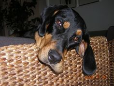 Darázs - Vespa Transsylvanian Scenthound (Kopó)