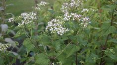 White snakeroot This plant can be toxic even if it is consumed second hand. In fact, Abraham Lincoln's grandmother reportedly died after drinking cow milk that had been affected.