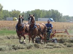 A draft horse team raking the alfalfa after it has been cut…
