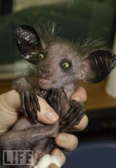 Kintana, a aye-aye from Madagascar, makes his first public appearance at the Bristol zoo in April 2005. This nocturnal primate has rodent-like teeth and a long middle finger, the better to catch and devour grubs