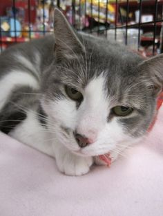 Meet Harriet, an adoptable Domestic Short Hair-gray looking for a forever home…