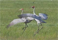 The dancing birds are brolgas and the official bird emblem of  Queensland.  The brolga is a member of the crane family, and a common wetland bird species in tropical and south-eastern Australia.  Best known for the intricate mating dances, their performance begins with a bird picking up some grass and tossing it into the air, then catching it, jumping a metre into the air with outstretched wings, with much strutting, calling and bobbing of the head