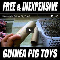 Free & Inexpensive Guinea Pig Toys Diy Guinea Pig Toys, Baby Guinea Pigs, Guinea Pig Care, Baby Pigs, Pet Rats, Pets, Pig Pics, Guinea Pig Accessories, Guniea Pig