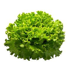 Esta variedad de lechuga tiene las hojas rizadas, es de cogollo suelto y tiene una textura mantecosa. Es una mezcla de una lechuga con un repollo.