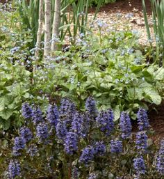 Brunnera 'Jack Frost' and 'Catlins Giant' bugleweed