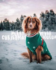 Hyvää joulua. Merry Christmas. God Jul. Greetings from our Office Dog, Snoopi. 🐾🎉❄️🇫🇮 - - #toller #dogsofinstagram #christmasdog #suomiretki #suomenluonto #instanature #naturelovers #natureshots #naturephotography #tollers #tolleri #tollerit #novascotiaducktollingretriever #novascotiannoutaja #joulu #joulu2019 #koira #koirakuvaus #luontokuva #luontoonfi #joulukoira #dogphotography Christmas Dog, Merry Christmas, Office Dog, Nova Scotia Duck Tolling Retriever, Dog Photography, Koi, Instagram Posts, Animals, Merry Little Christmas