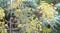 J'adore cette photo de @decofr ! Et vous ? (Source : http://www.deco.fr/photos/diaporama-les-plantes-pour-tisanes-d_1950)