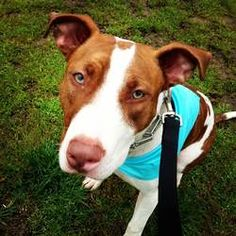 Rosie is an adoptable Pit Bull Terrier Dog in Columbia, MO.  Miss Rosie is a gorgeous red and white pit bull/bull terrier mix who will win you over with her beautiful green eyes and loving personalit...