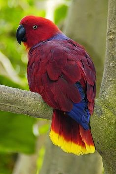 Eclectus Parrot by Ucumari