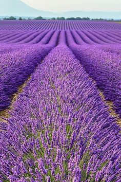 Learn how to grow lavender anywhere with these lavender growing tips and tricks. Growing lavender requires thoughtful planning, watering, maintenance and then harvesting. Growing Lavender, Lavender Flowers, Purple Flowers, Lavender Color, Lavender Plants, Flowers Garden, Exotic Flowers, Yellow Roses, Pink Roses