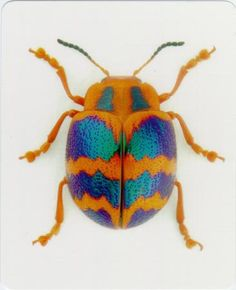 Catalog #5152: Bugs-Card-Beetle-front (click to close)