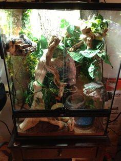 Whites tree frog setup