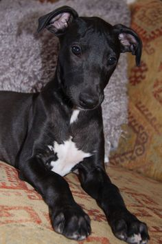 Black Whippet puppy
