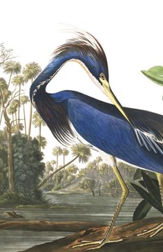 Over 400 high res downloadable files are available from the Aududon website. Here, the Louisiana Heron
