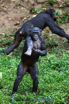 Bonobo young female standing (Pan paniscus), Lola Ya Bonobo Sanctuary, Democratic Republic of Congo.
