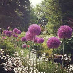 Allium at Chanticleer Garden.