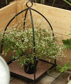 Harsotyräkki eli tuttavallisesti poutapilvi Eevan tekemässä rautaisessa kasvipaviljongissa.