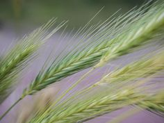 Get this free picture Grass weeds nature grain     https://avopix.com/photo/49328-grass-weeds-nature-grain    #wheat #fly #cereal #leaf #plant #avopix #free #photos #public #domain
