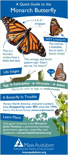 Monarch butterfly quick guide butterfly caterpillar Monarch Butterfly Q. Monarch Butterfly Facts, Butterfly Photos, Animal Decor, Animal Nursery, Woodland Animals, Beautiful Butterflies, Gardening Tips, Drawing, Illustration