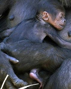 "A western lowland gorilla named Mbeli holds her adorable new baby close to her chest in their enclosure at Sydney's Taronga Zoo October 31, 2014.     REUTERS/David Gray      (AUSTRALIA - Tags: ANIMALS ENVIRONMENT SOCIETY TPX IMAGES OF THE DAY)     ATTENTION EDITORS: THIS PICTURE IS PART OF THE PACKAGE ""Reuters Most Popular Instagram Posts 2014""    SEARCH 'instagram posts' FOR ALL 30 IMAGES"
