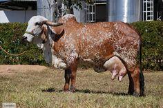 Gir Cow | Gir leiteiro, Gyr catlle, Brahman cow