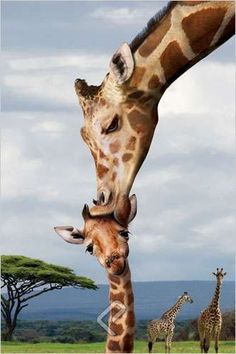 """Giraffe Kissing Baby 24x36 Inch Full Color Wildlife Poster by Eurographics This beautiful, full color, 24 x 36 inch poster captures a Giraffe Parent """"kissing"""" its adorable baby calf surrounded by thei"""