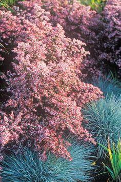 t rkischer mohn patty 39 s plum papaver orientale kaufen bei outdoor plants to. Black Bedroom Furniture Sets. Home Design Ideas
