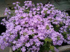 Vervena,, the little flowers ,  ln my garden,   South Korea