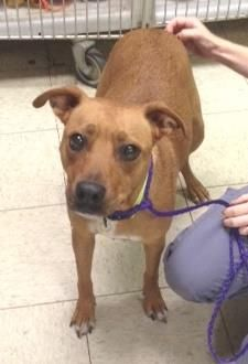 Petango.com – Meet Daisy S-4, a 2 years Terrier / Retriever, Labrador available for adoption in CLEVELAND, OH