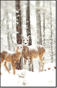 Biches à la neige  #biche #neige #animal #animaux #montagne #glace #verglas #hiver #snow #winter #animals #chaines #chainesbox