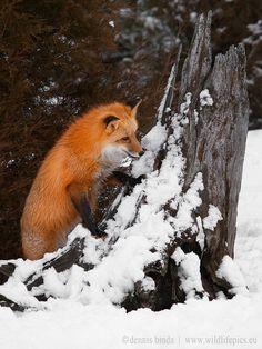 Red Fox by Dennis Binda on 500px
