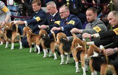 I just adore Beagles. Beagles lineup in the judging area during Day One of competition at the Westminster Kennel Club Annual Dog Show in New York on Feb. (Photo: Timothy A. Basset Hound, Basset Artesien Normand, Griffon Nivernais, Grand Basset Griffon Vendeen, Simple Cafe, Beagle Art, Westminster Dog Show, New York Attractions, New York Hotels