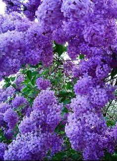 50 Ideas for wall paper flores lilas Purple Flowering Tree, Flowering Trees, Lilac Flowers, Pretty Flowers, Garden Trees, Trees To Plant, Lilac Bushes, Baumgarten, Purple Garden