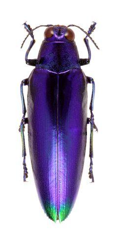 Chrysochroa fulminas violacea吉丁虫