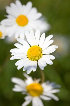 Oxeye Daisy By Mark Monckton